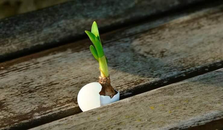 cebolla floreciendo principiantes